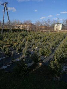 Żywe choinki bożonarodzeniowe - Olszyny, Andrychów